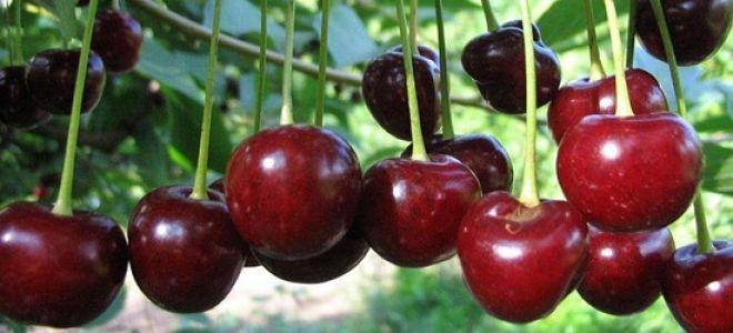вишневое вино рецепт приготовления в домашних