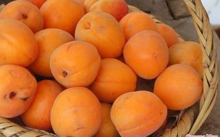 Готовим самогон из абрикосов в домашних условиях